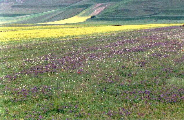 Prairies fleuries de Castelluccio