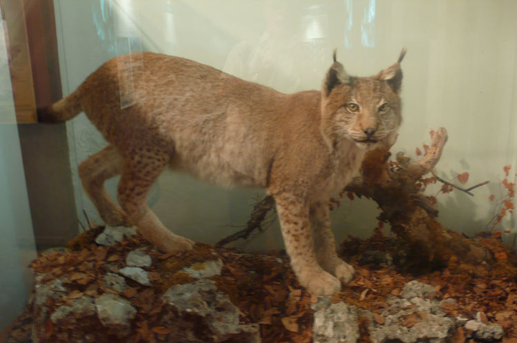 Lynx des Abruzzes